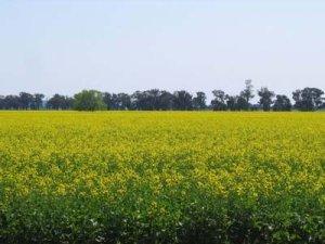 canola field advantages of biodiesel