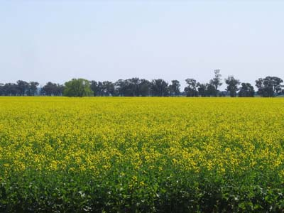 canola field advantages of biodiesel