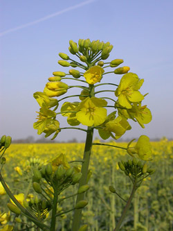 crops for canola biodiesel