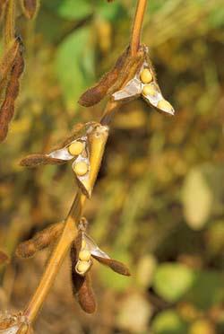 Soy bean biodiesel crops